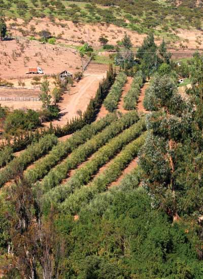 cultivo de olivos en el valle de Quilimarí