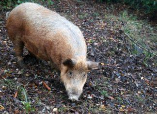cerdo avellanero lumaco fiesta costumbrista