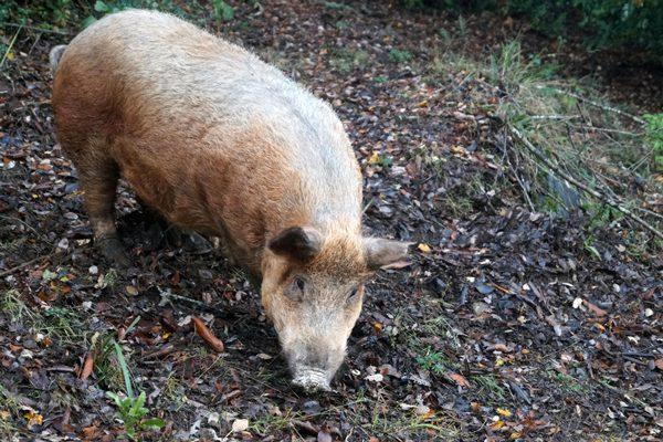 cerdo avellanero lumaco fiesta costumbrista 2019